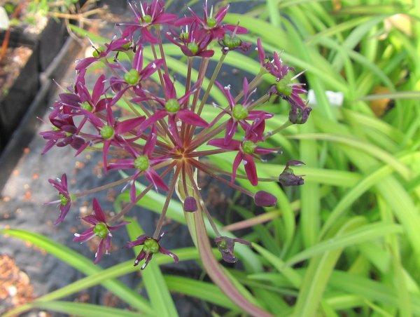 Allium wallichii CDHM14526