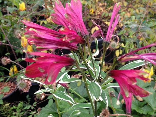 Alstroemeria brasiliensis 'Cally Star'