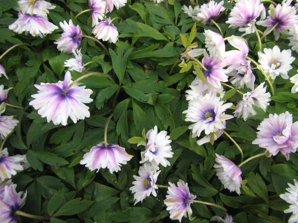 Anemone nemorosa 'Blue Eyes'
