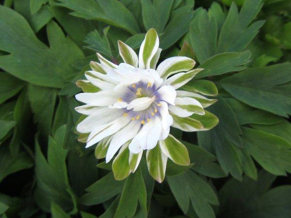 Anemone nemorosa 'Bracteata'
