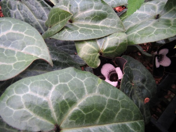 Asarum maximum 'Shell Shocked'