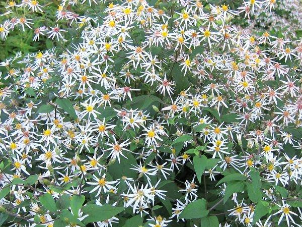 Eurybia divaricatus syn. Aster