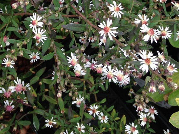 Symphyotrichum lateriflorum 'Lady in Black' syn Aster