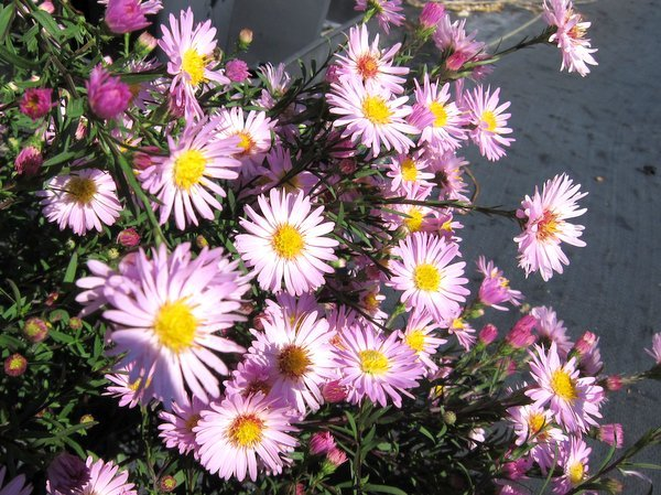 Symphyotrichum 'Vasterival' syn. Aster