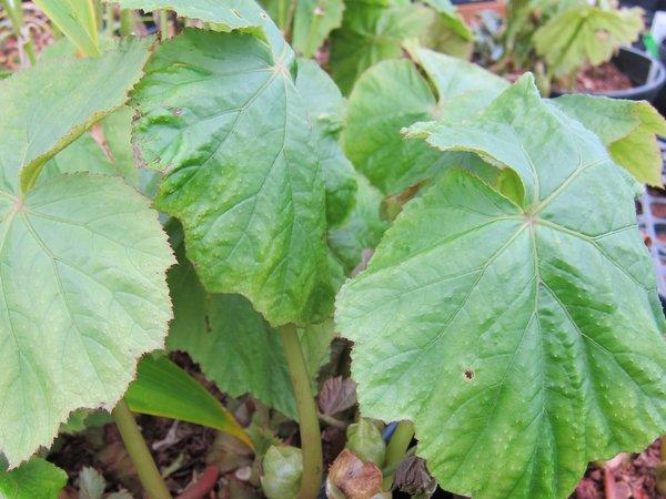 Begonia emeiensis DJHC98479