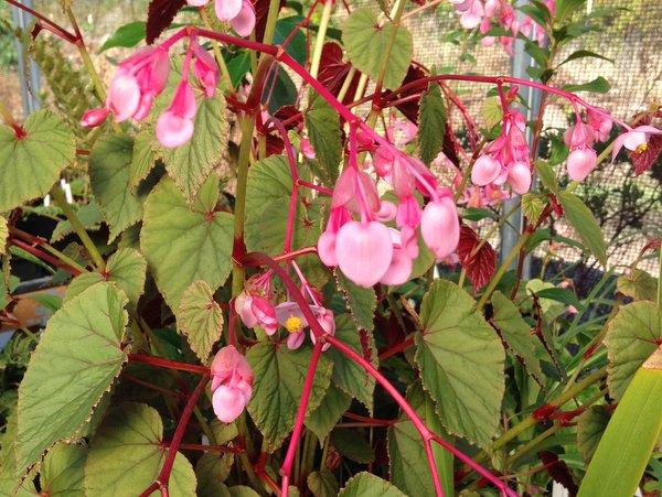 Begonia grandlis 'Sapporo'