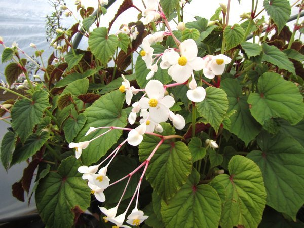 Begonia grandis var. alba