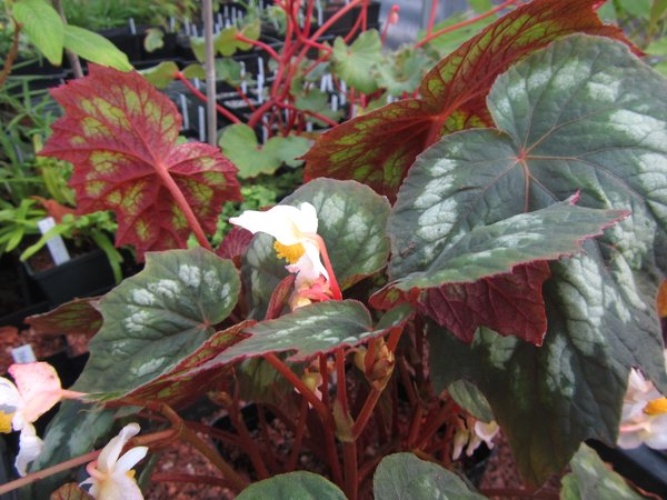 Begonia sp. MD12-42
