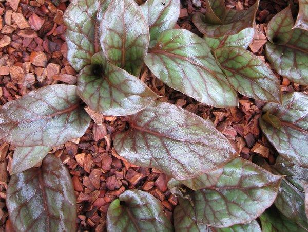 Cardiocrinum cordatum var. glehnii