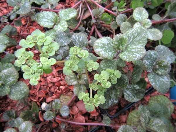 Chrysosplenium lanuginosum var. lanuginosum 'Leigong Frost'  MD12-20