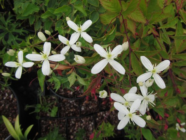 Clematis terniflora var. mandshurica