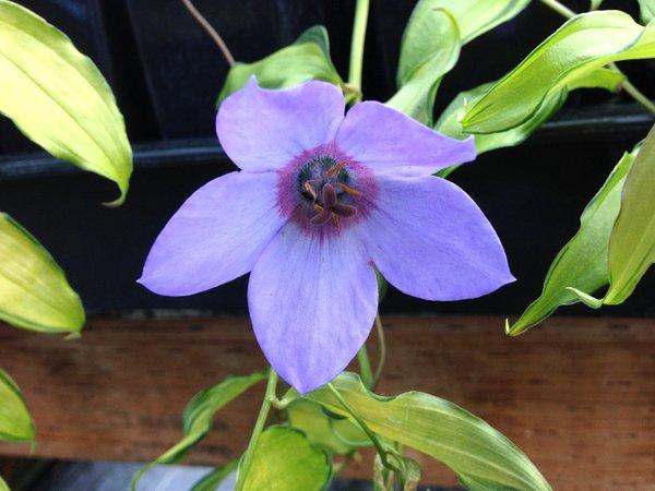 Codonopsis convolvulacea subsp. grey-wilsonii