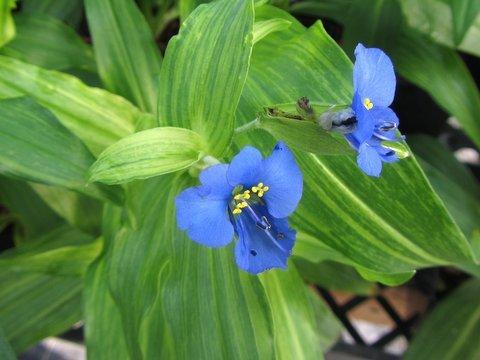 Commelina tuberosa 'Hopley's Variegated'