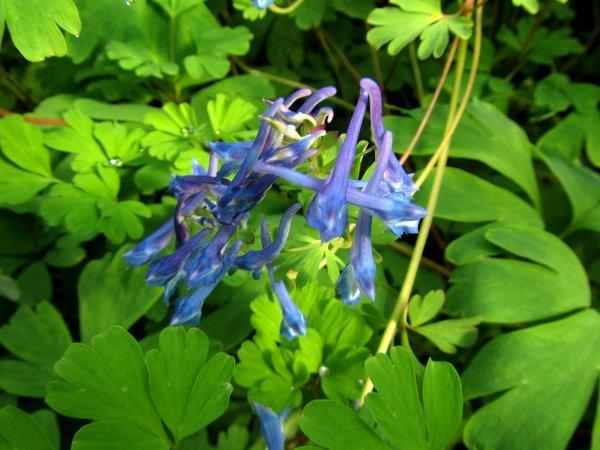 Corydalis elata 'Blue Summit'