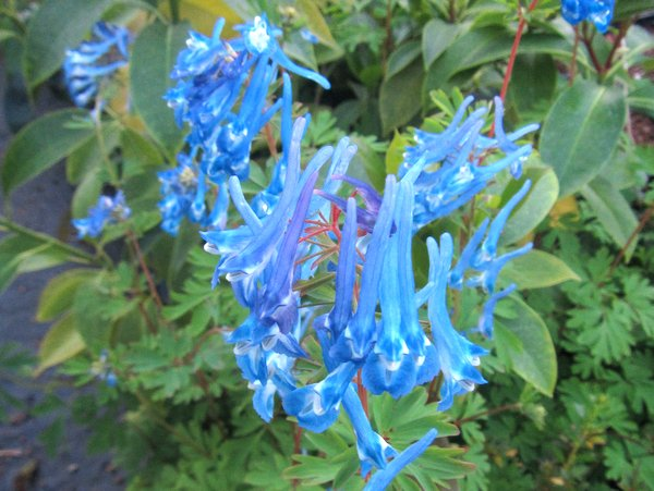 Corydalis 'Heavenly Blue'