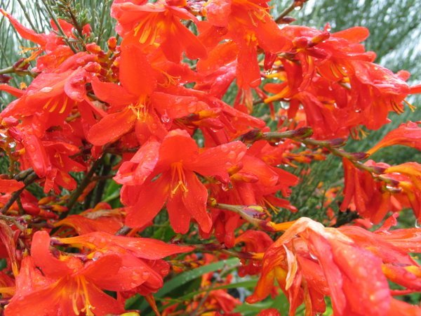 Crocosmia 'Irish Flame'