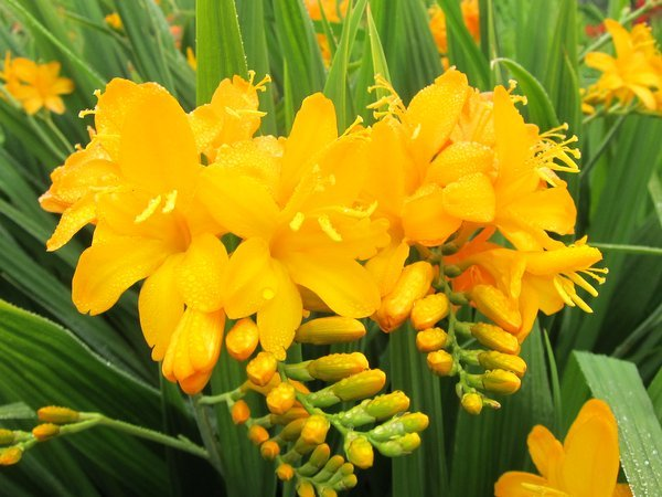 Crocosmia 'Paul's Best Yellow'