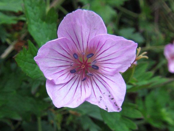 Geranium rosthornii CGG14022