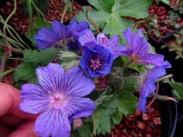 Geranium 'Sabani Blue'