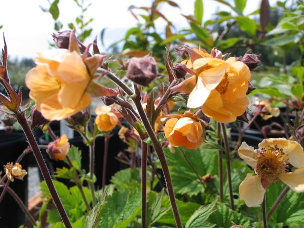 Geum 'Coppertone'