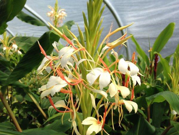 Hedychium spicatum v. spicatum  MD0670