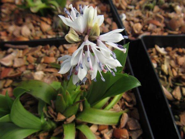 Heloniopsis orientalis var. breviscapa BSWJ 5873