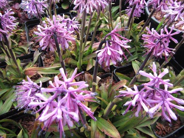 Heloniopsis orientalis - Dark Flower