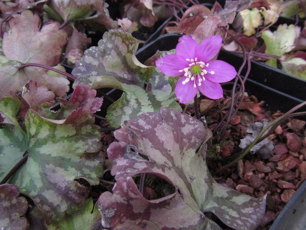 Hepatica nobilis 'Cremar'