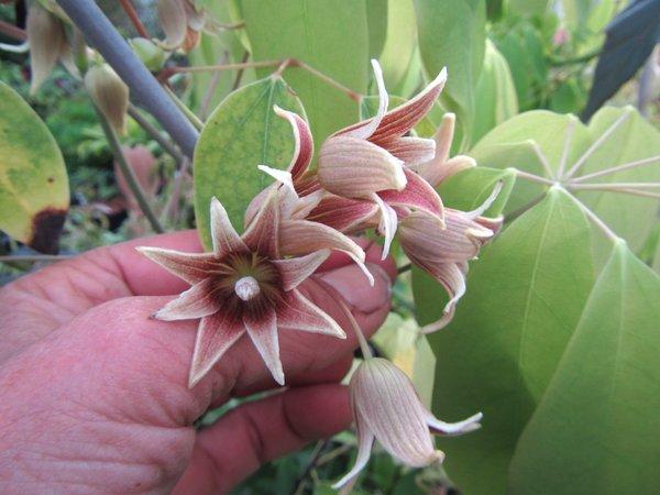 Holboellia aff. chapaensis FMWJ 13171