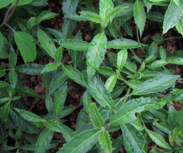 Hydrangea chinensis DJHT7704
