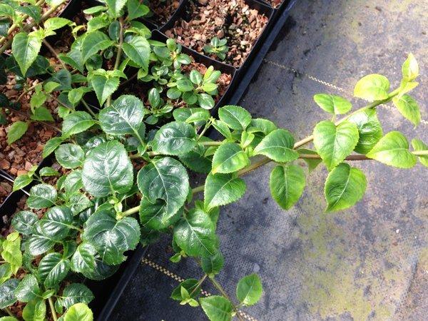 Hydrangea anomala subsp. anomala 'Winter Glow' BSWJ2411