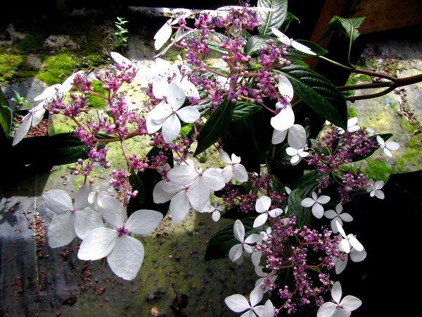 Hydrangea kwangsiensis FMWJ 13187