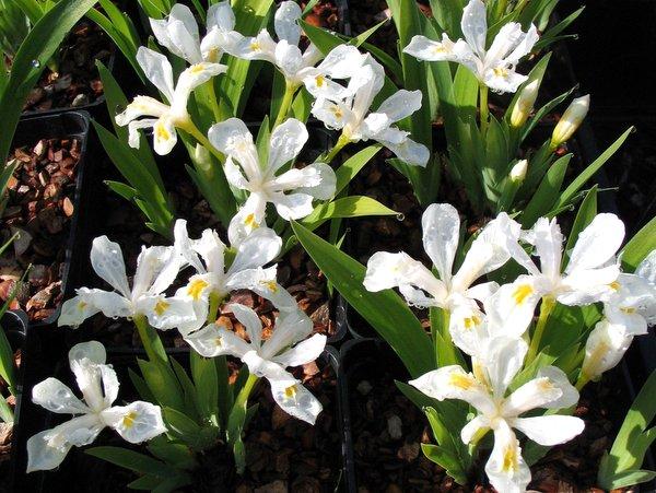 Iris cristata 'Tennessee White'