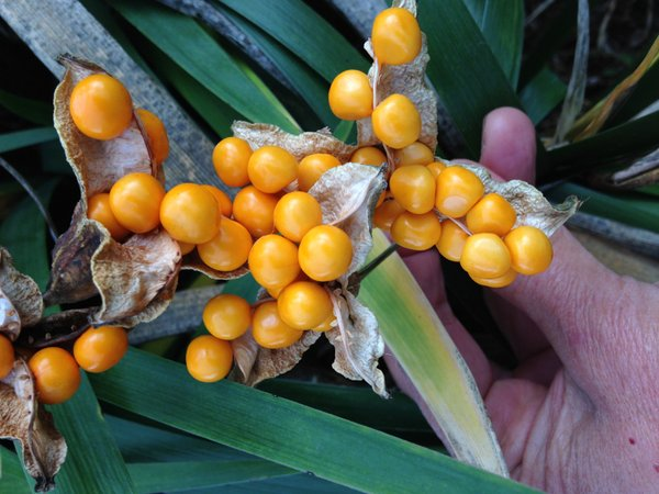 Iris foetidissima 'Golden Gobbet'