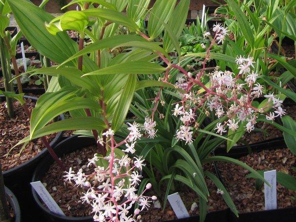 Maianthemum laxiflorum ex BSWJ10305