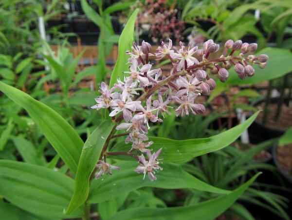 Maianthemum scilloideum BSWJ10407