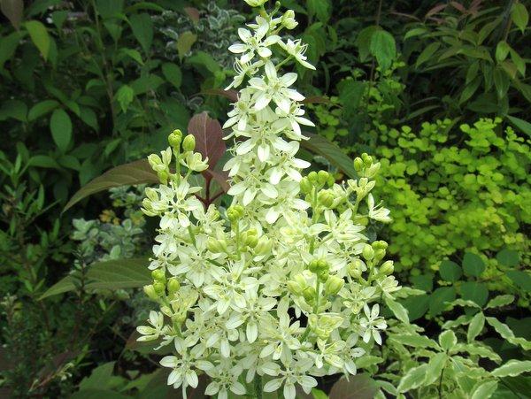 Veratrum virginicum syn. Melanthium