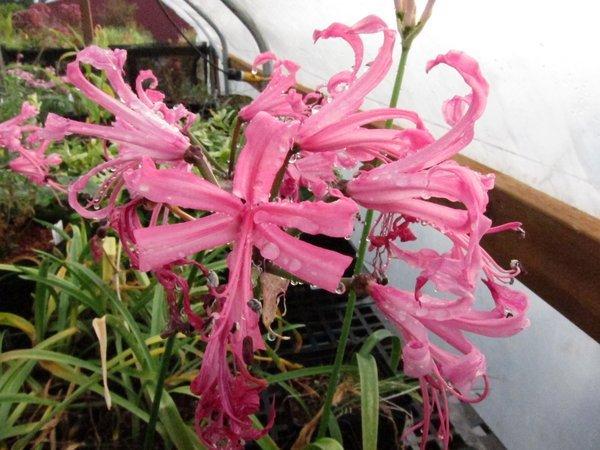 Nerine bowdenii  - Kew Form