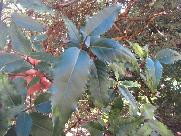 Olearia macrodonta