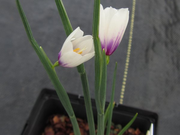 Olsynium douglasii - white with pink base