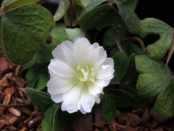 Oxalis griffithii - Double Flowered