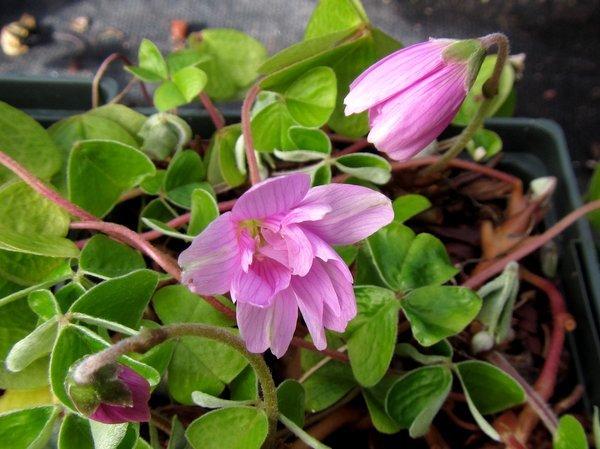Oxalis griffithii 'Flore Pleno' - Pink
