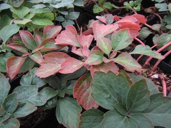 Pachysandra procumbens 'Eco Picture Leaf'
