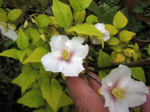 Philadelphus Yellow Cab