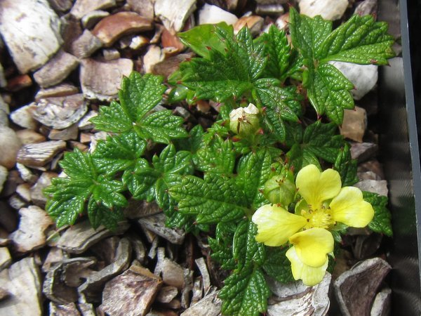 Potentilla dickinsii 'Nana'