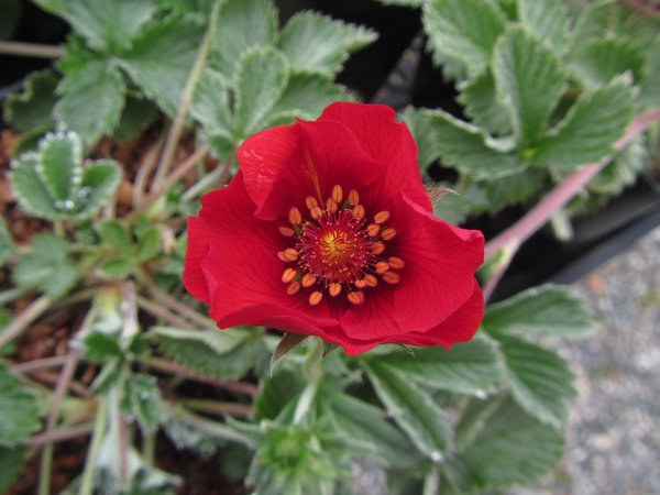 Potentilla 'Fire Flames'