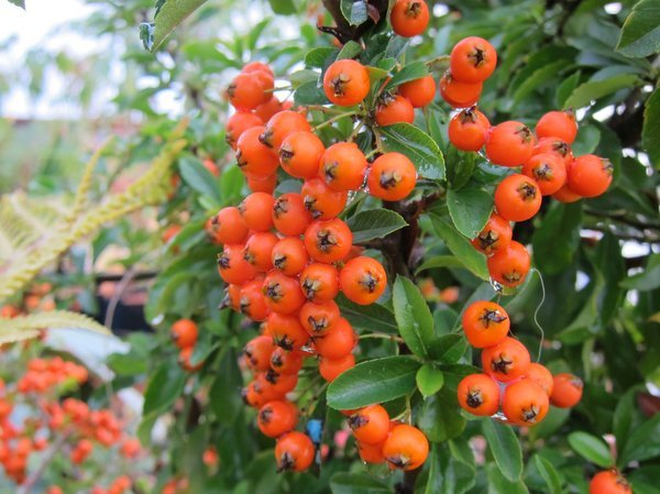 Pyracantha 'Gnome'