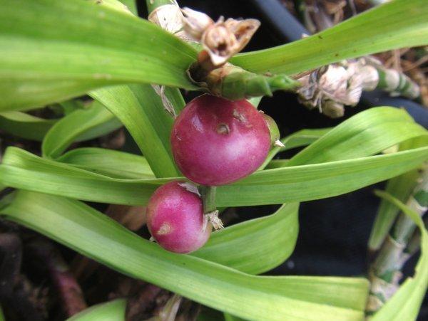 Reineckea carnea 'Baoxing Booty' BSWJ8152