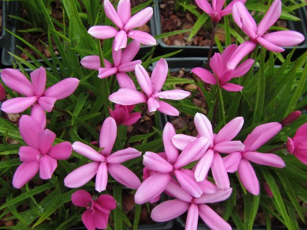 Rhodohypoxis milloides 'Damask'