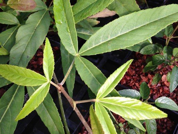 Rubus henryi